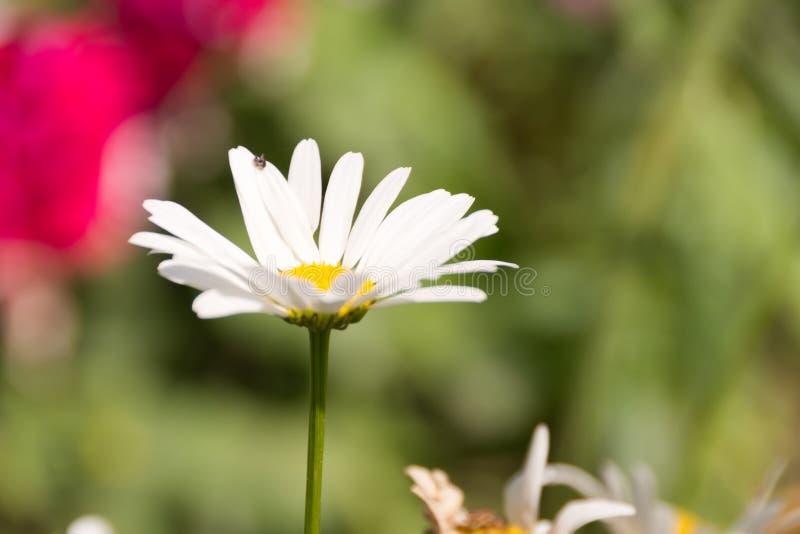 Weiße daisie Nahaufnahme auf einem Hintergrund des grünen Grases lizenzfreies stockbild