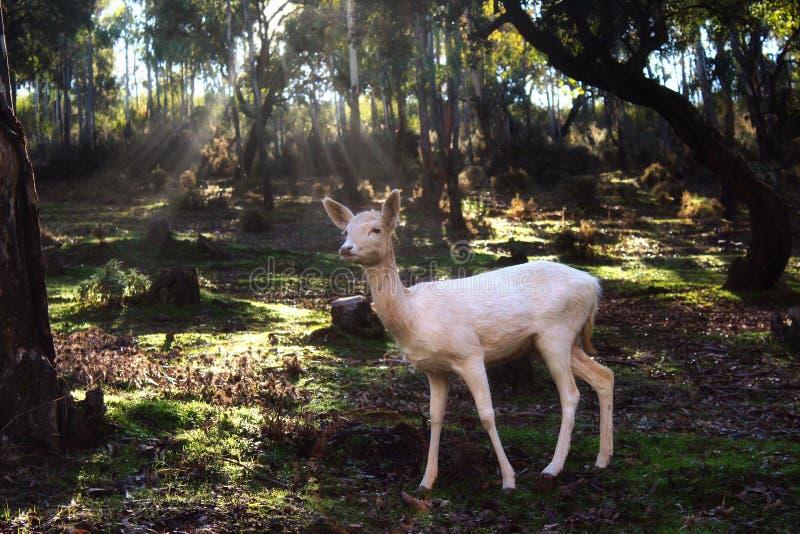 Weiße Damhirsche, die in einem Wald mit Sonnenlichtdurchdringen durch die Bäume stehen lizenzfreie stockfotos