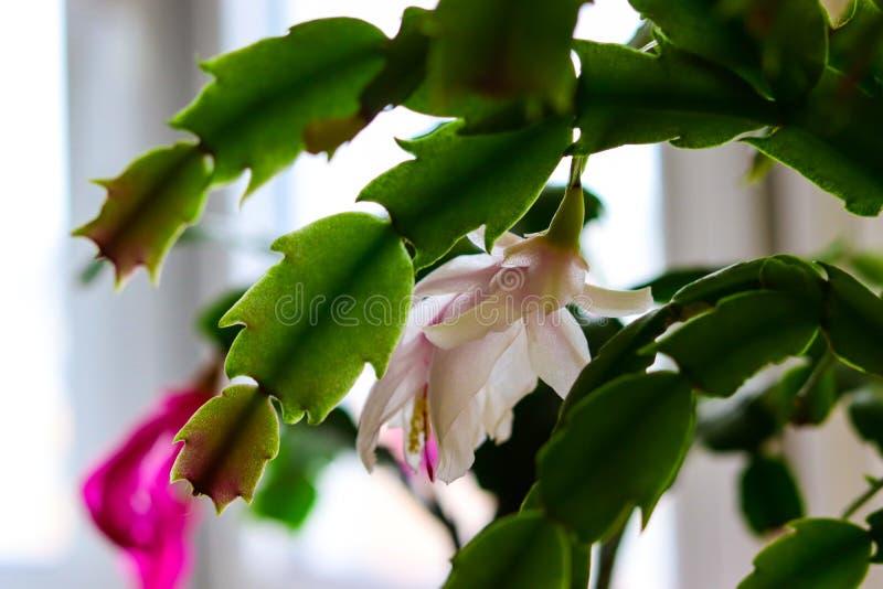 Weiße decembrist Blume, die unter den Blättern auf einem Fensterbrett sich versteckt lizenzfreie stockfotografie
