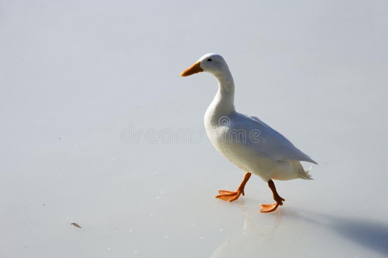 Weiße Ente, die auf Eis geht lizenzfreies stockbild