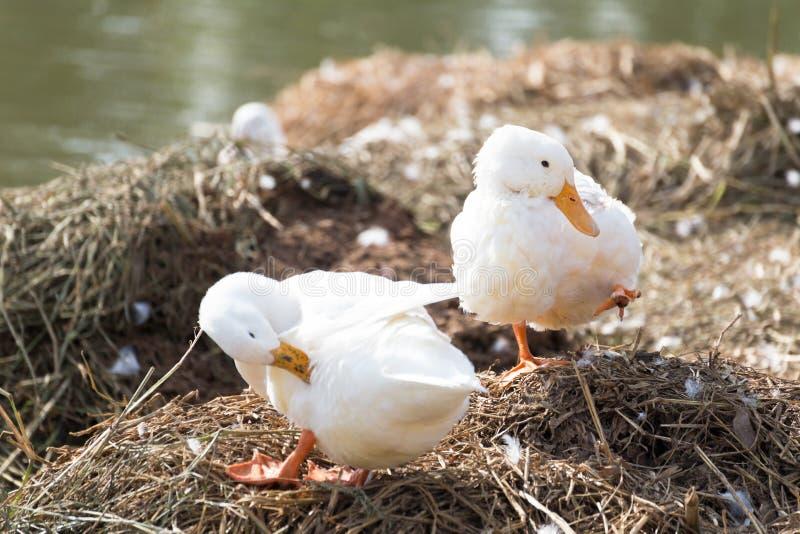 Weiße Enten, die Pelz nahe bei einem Teich oder einem See putzen lizenzfreie stockbilder