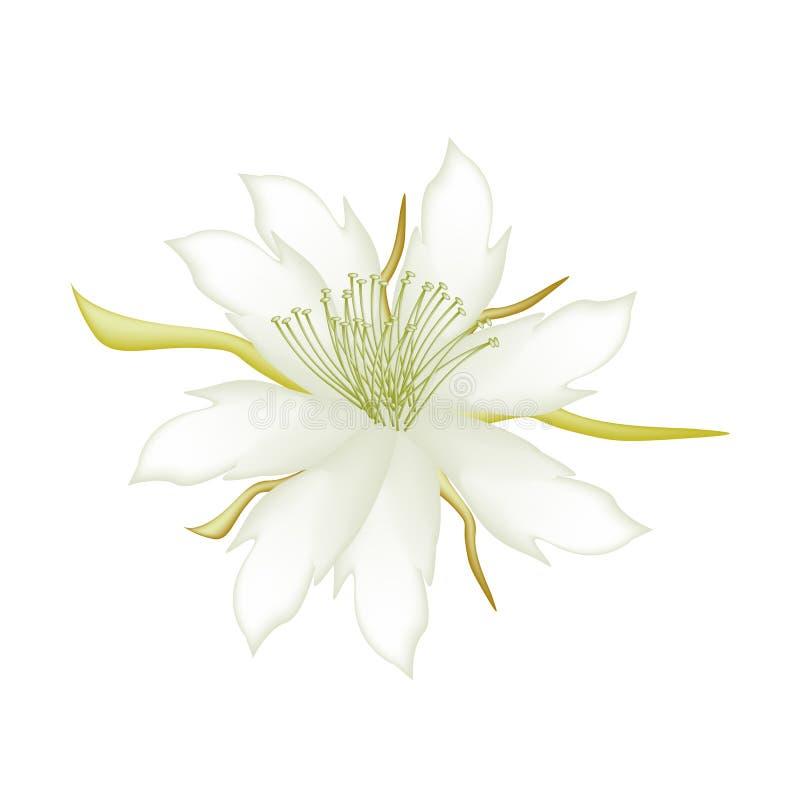 Weiße Equiphyllum-Blumen auf einem weißen Hintergrund stock abbildung