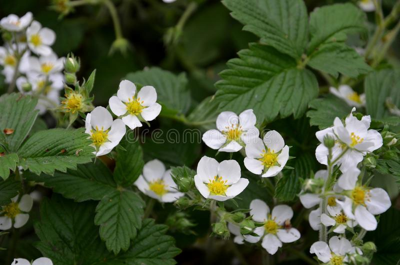Weiße Erdbeere blüht Anfang Mai stockfotos