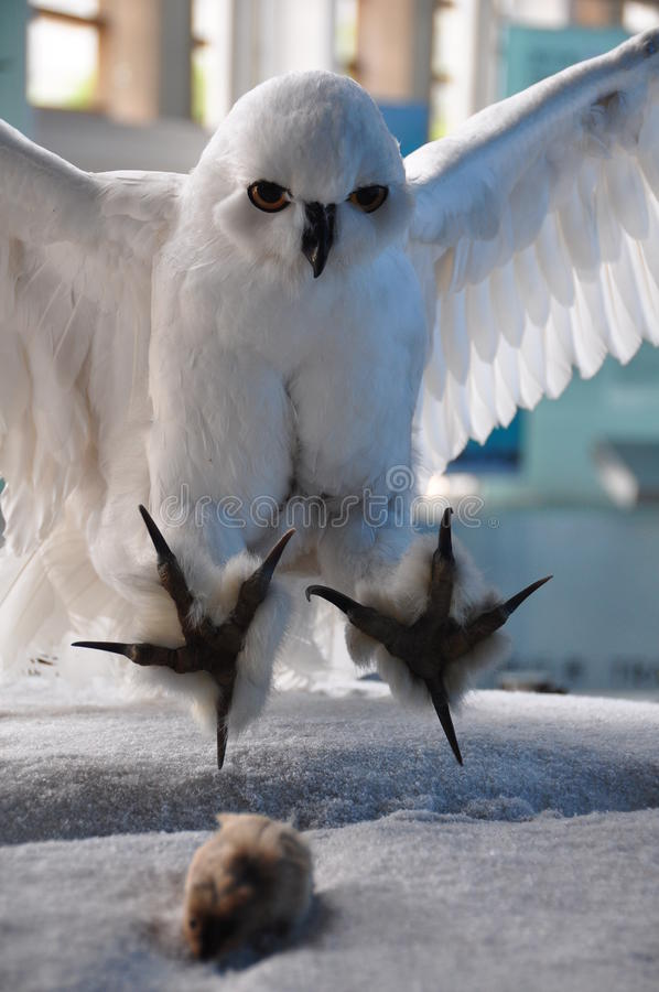 Weiße Eulenjagdmäuse stockfotos