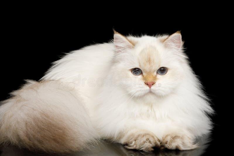 Weiße Farbe der pelzartigen britischen Katze auf lokalisiertem schwarzem Hintergrund lizenzfreies stockbild
