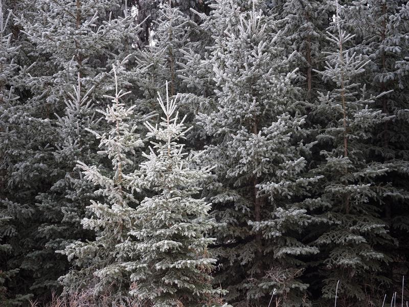 Weiße Fichte oder Picea Glauca bedeckt im Hoar Frost lizenzfreie stockbilder