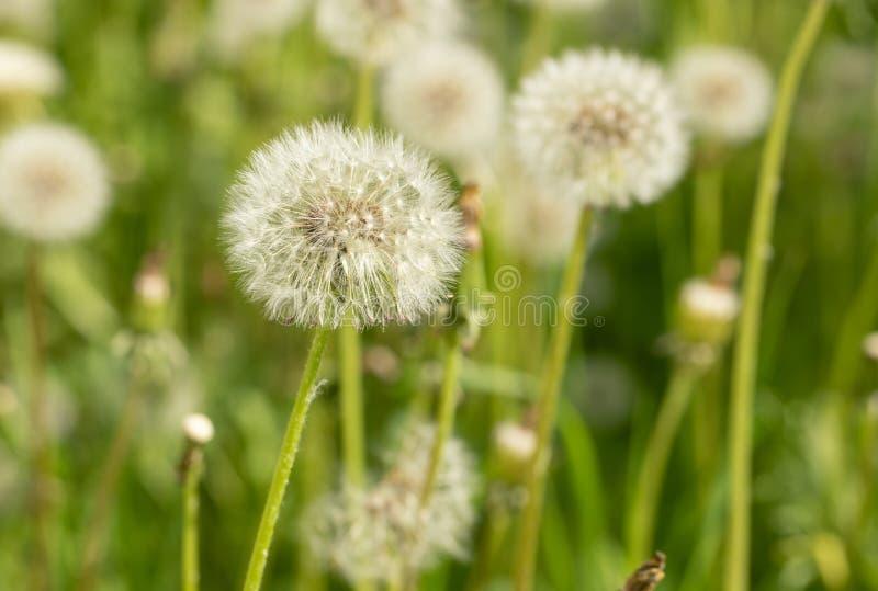 Weiße flaumige Löwenzahnblumen der Nahaufnahme auf grüner Sommerwiese lizenzfreie stockfotos