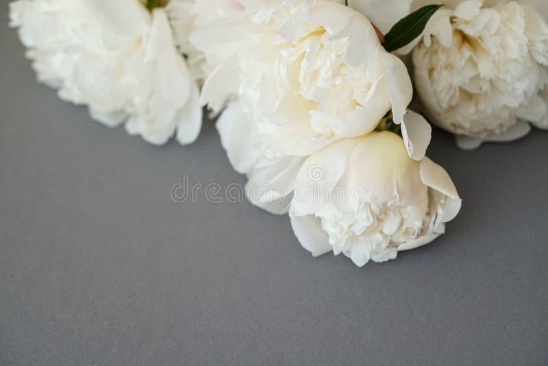 Weiße flaumige Pfingstrosenblumenzusammensetzung auf grauem Hintergrund stockfotos