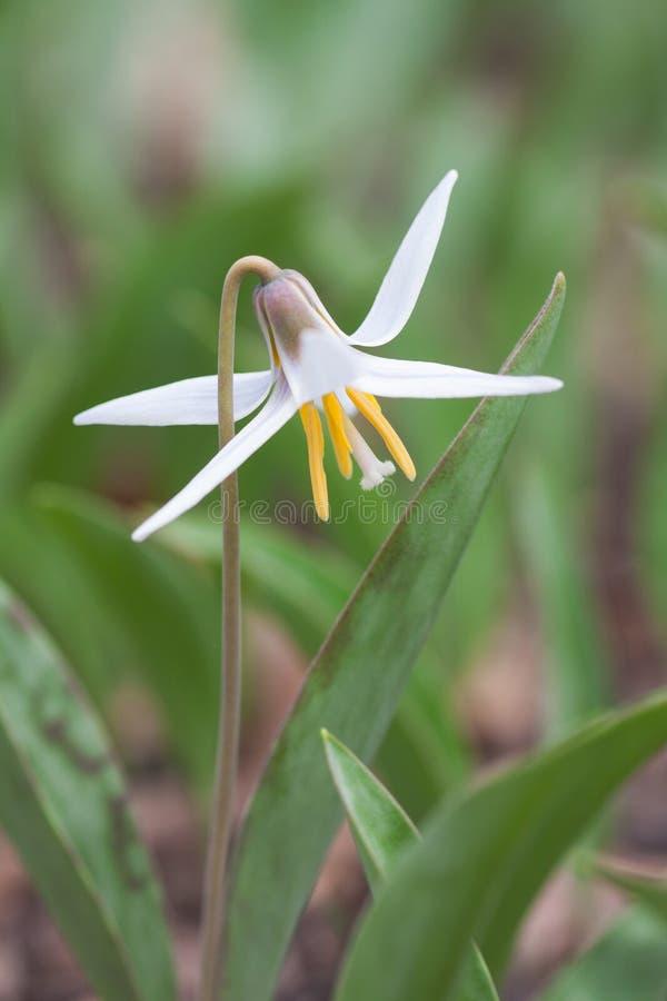 Weiße Forelle Lily Star stockfotografie