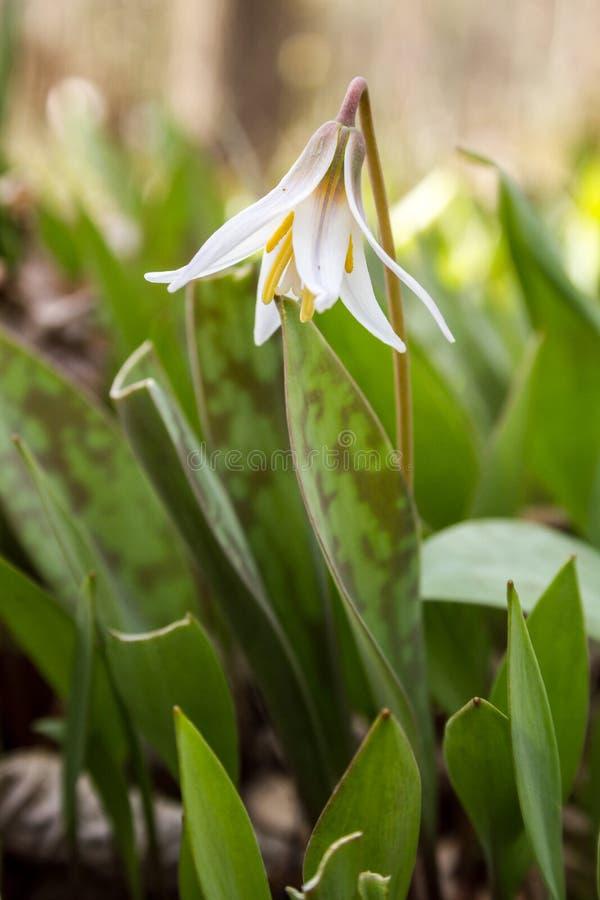Weiße Forellen-Lilie stockbild