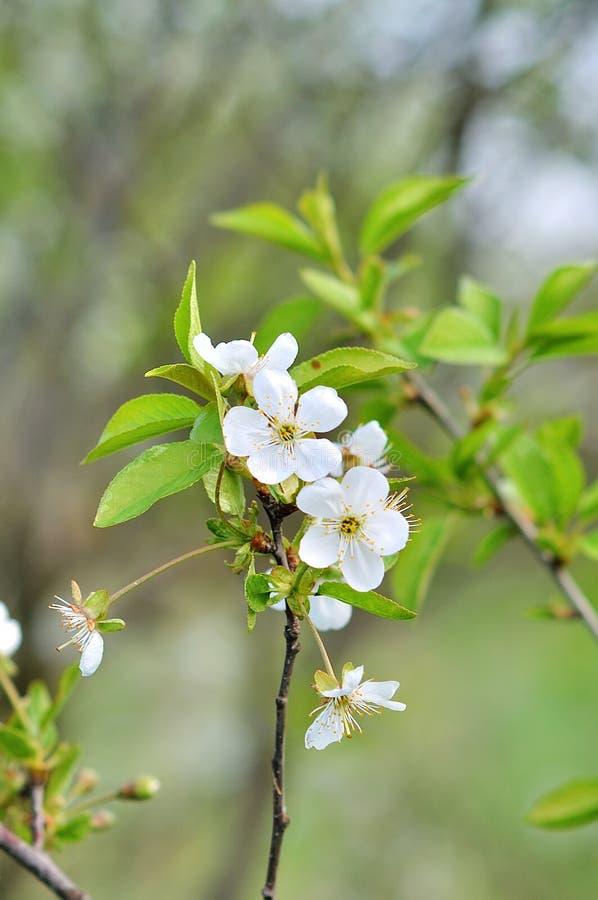 Weiße Frühlingsblumen auf einem Baumzweig lizenzfreies stockbild