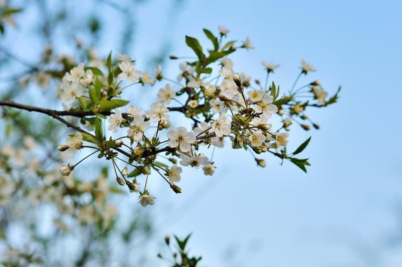 Weiße Frühlingsblumen auf einem Baumzweig stockfotos