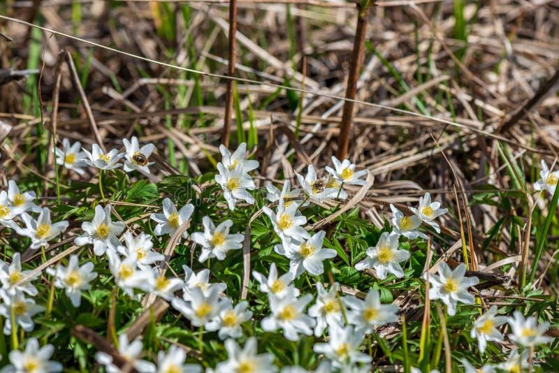 weiße Frühlingsblumen auf natürlichem grünem Wiesenhintergrund stockbilder