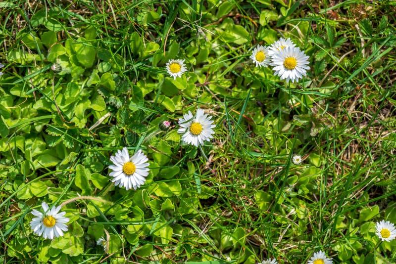 weiße Frühlingsblumen auf natürlichem grünem Wiesenhintergrund stockfotografie
