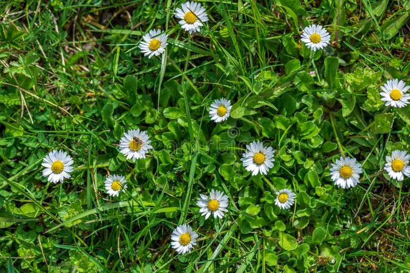 weiße Frühlingsblumen auf natürlichem grünem Wiesenhintergrund lizenzfreie stockfotografie