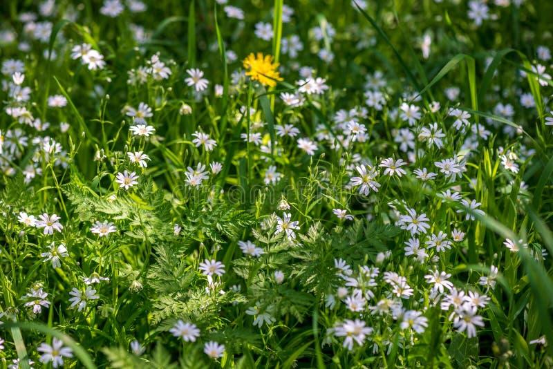 weiße Frühlingsblumen auf natürlichem grünem Wiesenhintergrund lizenzfreie stockfotos