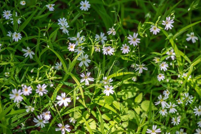 weiße Frühlingsblumen auf natürlichem grünem Wiesenhintergrund stockbild