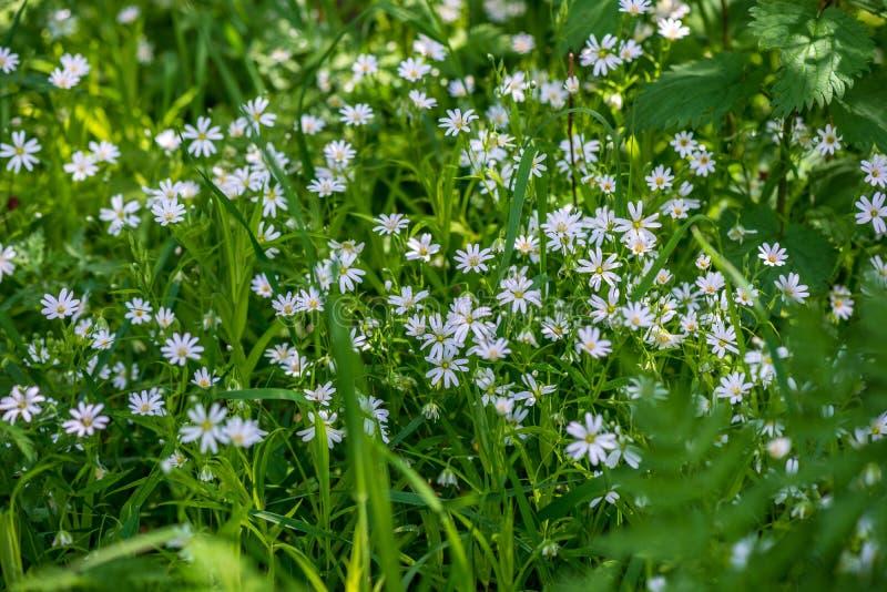 weiße Frühlingsblumen auf natürlichem grünem Wiesenhintergrund stockfoto