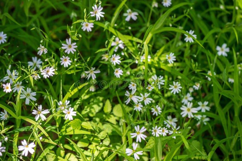 weiße Frühlingsblumen auf natürlichem grünem Wiesenhintergrund lizenzfreie stockbilder