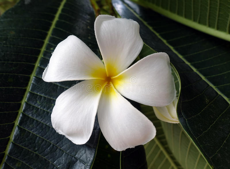 Weiße Frangipaniblume stockfotografie