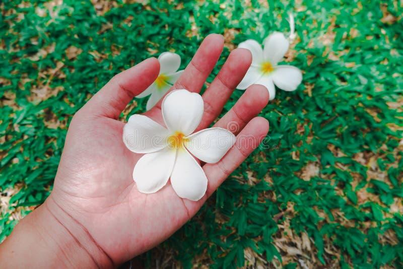 Weiße Frangipaniplumeria-Blume, die eigenhändig hielt lizenzfreie stockfotos