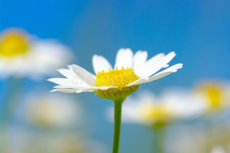 Weiße Gänseblümchen stockfoto
