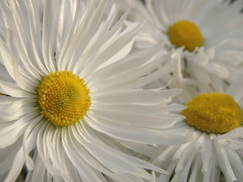 Weiße Gänseblümchen lizenzfreie stockfotografie