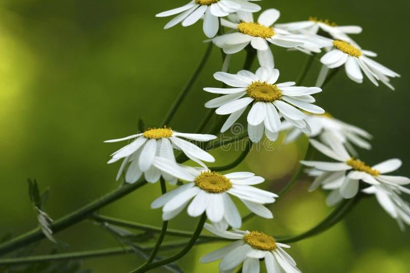 Weiße Gänseblümchen blühen an einem sonnigen Sommertag Schöner gelbgrüner Blumenhintergrund von Waldblumen Nahaufnahme lizenzfreie stockfotos