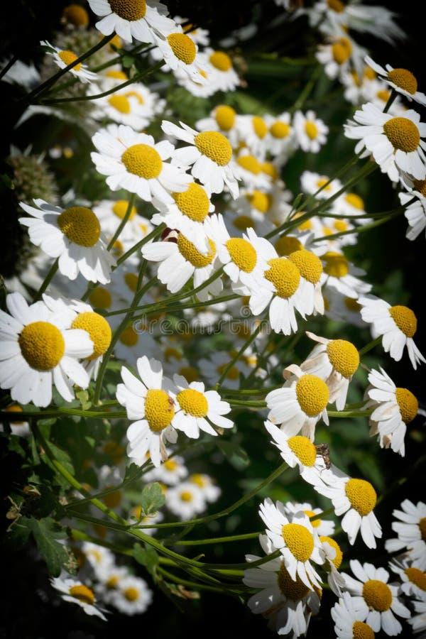 Weiße Gänseblümchen gegen einen dunklen Hintergrund lizenzfreie stockfotos