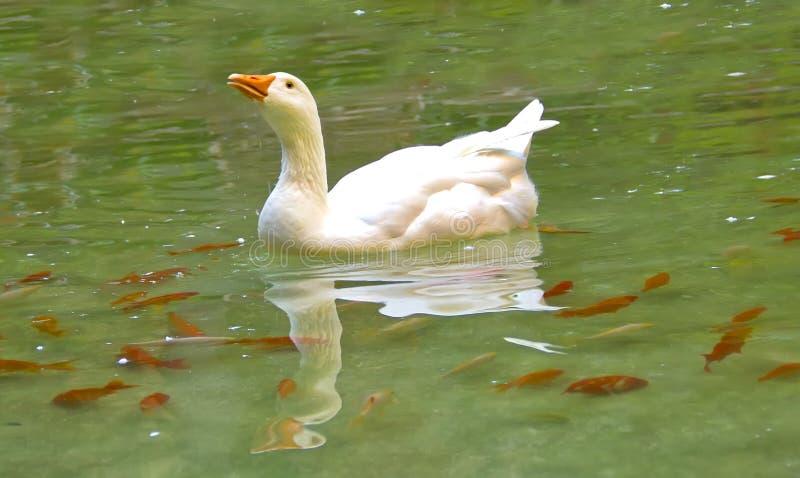 Weiße Gansschwimmen lizenzfreies stockfoto