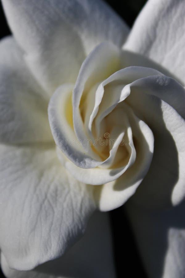 Weiße Gardenia Twist lizenzfreie stockfotografie