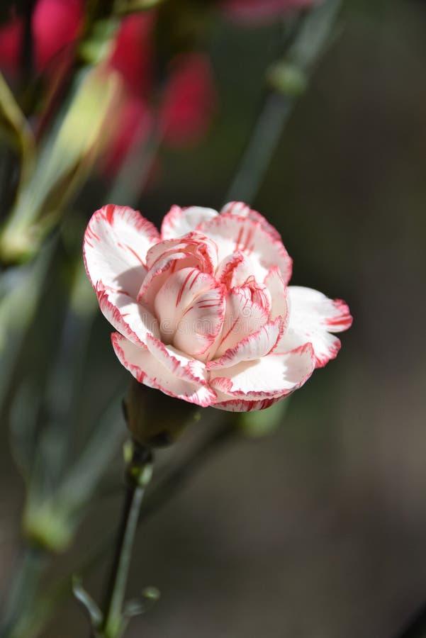 Weiße Gartennelkenknospe gegen unscharfen Hintergrund stockbilder