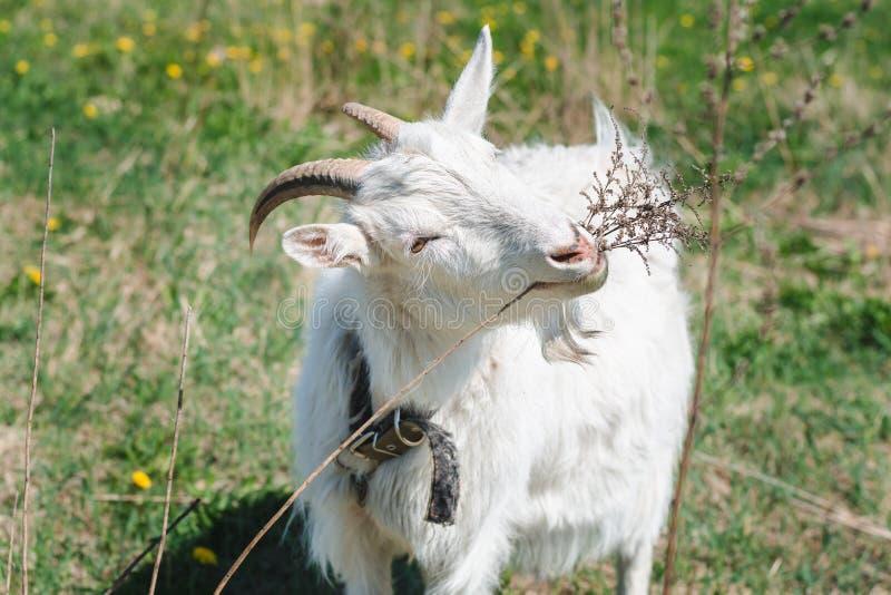 Weiße gehörnte Ziege, die einen Kragen isst trockenes Gras auf einer grünen Wiese an einem sonnigen Tag des Sommers trägt stockbild