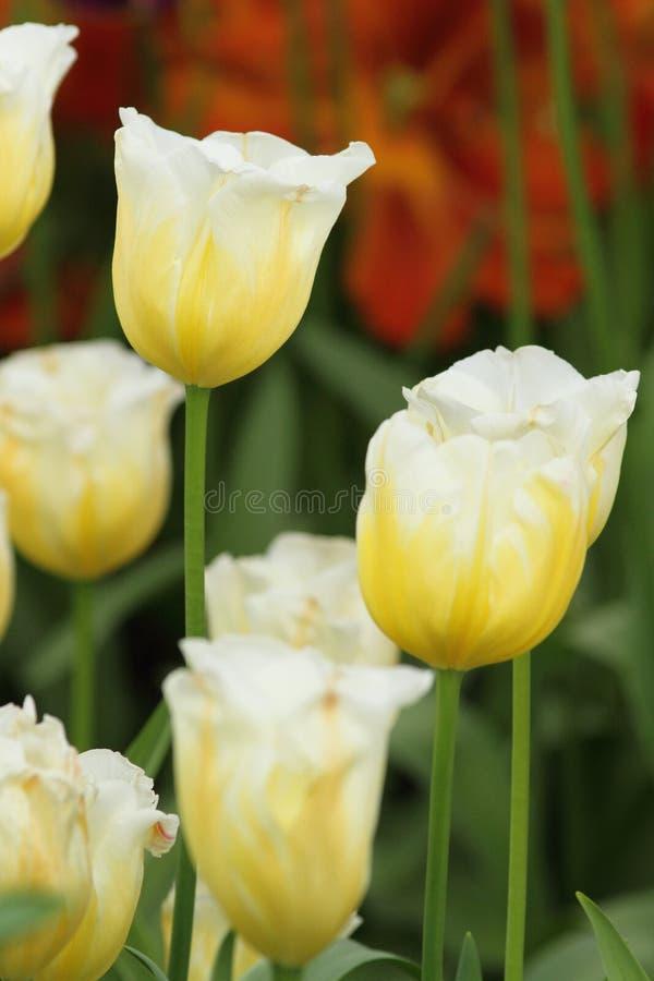 Weiße gelbe Tulpennahaufnahme lizenzfreies stockbild