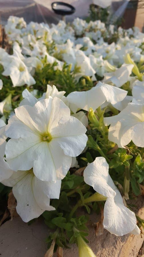 Weiße glänzende Blume stockbilder