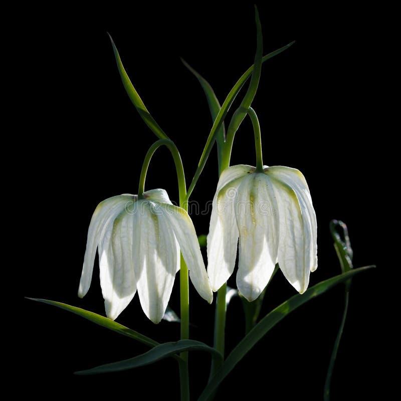Weiße Glockenblumenahaufnahmeblume für großes Plakat. lizenzfreie stockfotografie