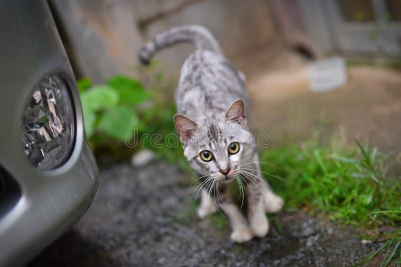 Weiße graue Katze stockfoto