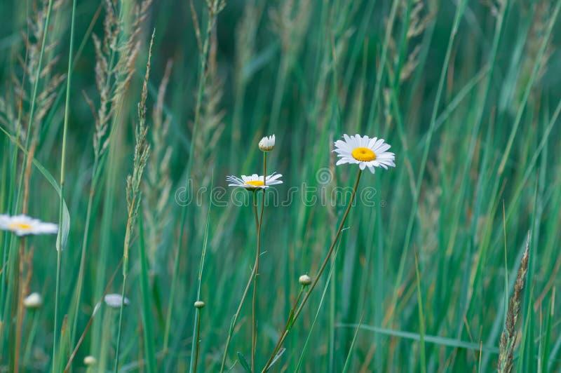Weiße große Gänseblümchenblumen auf einem Hintergrund des grünen Grases Selektiver Fokus Blaues Meer, Himmel u stockfoto