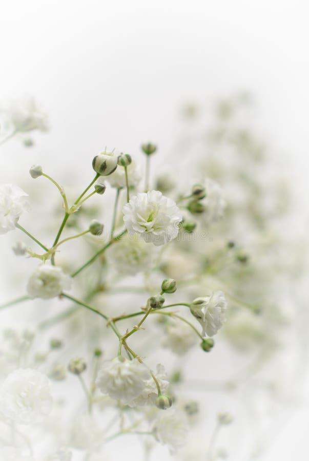 Weiße Gypsophilablume lizenzfreie stockfotos