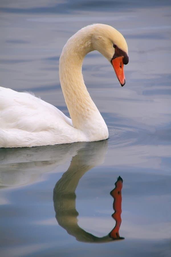 Weiße Höckerschwanschwimmen auf Banyoles See lizenzfreies stockbild