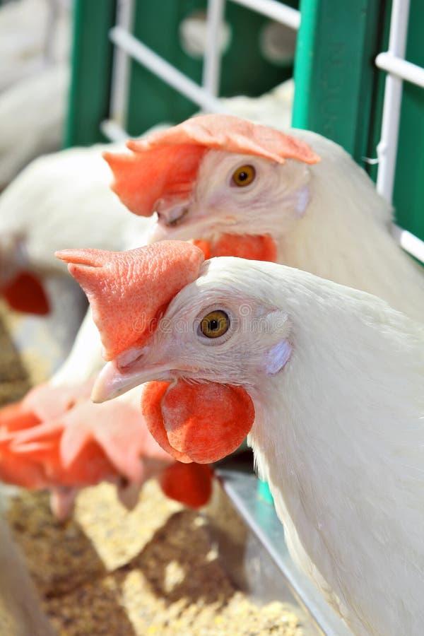Weiße Hühner lizenzfreies stockbild