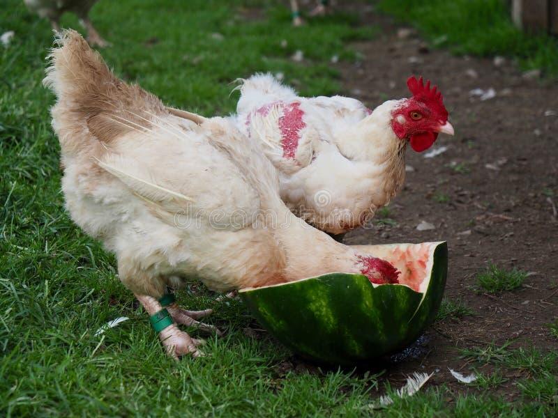 Weiße Hühner, die auf Wassermelone genießen lizenzfreies stockbild