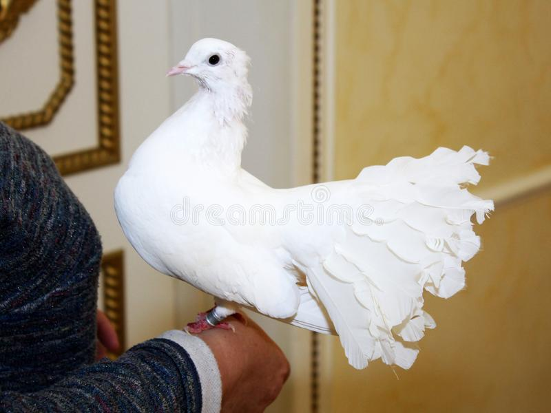 Weiße Heiratstaube, die auf der Hand einer Frau sitzt stockfotografie