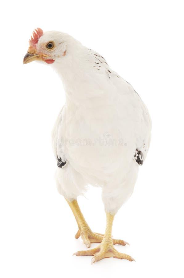 Weiße Henne lizenzfreie stockfotografie