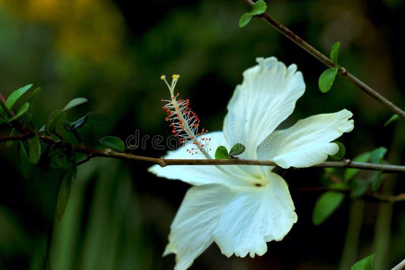 Weiße Hibiscuse stockfotografie