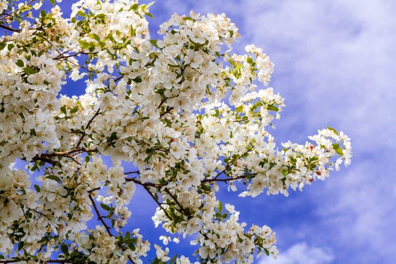 Weiße Holzapfel-Baum-im Frühjahr Blüte Stockfoto - Bild von frucht ...