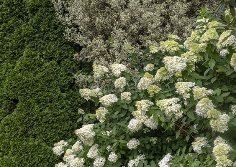 Weiße Hortensie Aborescens, Strauch mit veränderten Blättern mit weißen Rändern und grüne Mitte und dichte grüne Tannenbäume stockfotos
