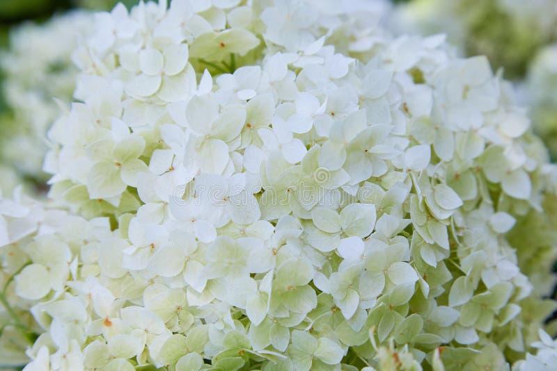 Weiße Hortensie arborescens Annabelle, nachdem dem Blühen, grüne Samen lizenzfreies stockbild
