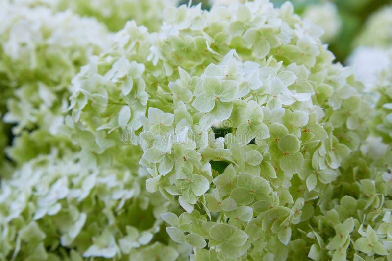 Weiße Hortensie arborescens Annabelle, nachdem dem Blühen, grüne Samen lizenzfreie stockfotos