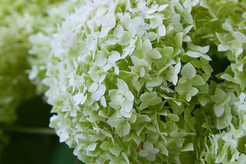 Weiße Hortensie arborescens Annabelle, nachdem dem Blühen, grüne Samen stockbild